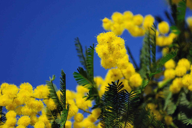 mimose-per-l8-marzo